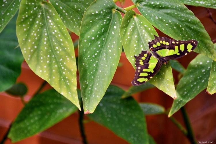 foglie verdi e farfalla verde e nera alla casa delle farfalle di cervia