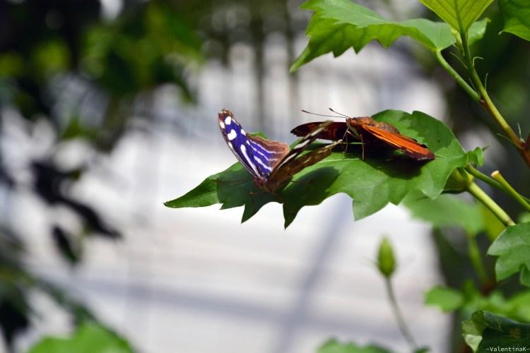 due bellissime farfalle colorate alla casa delle farfalle di cervia