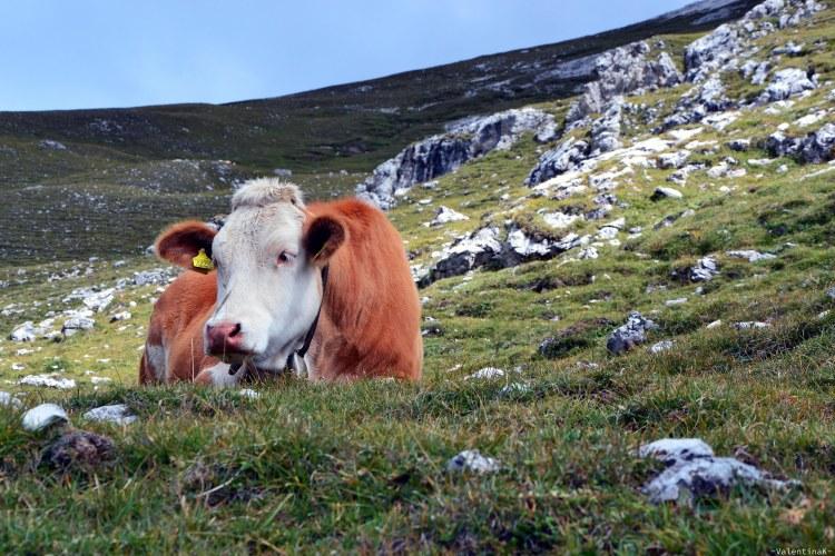 mucca che contempla la potente bellezza di prato piazza