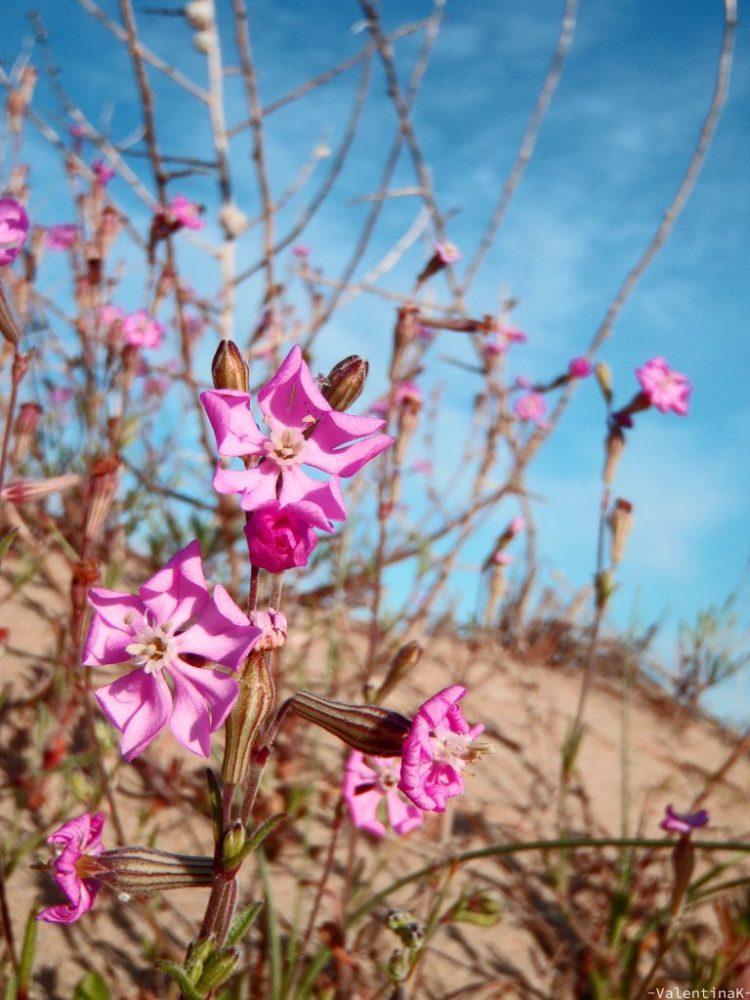 fiori rosa nell'oasi protetta di marina