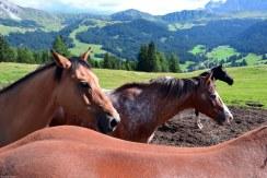 profili di cavalli all'alpe di siusi