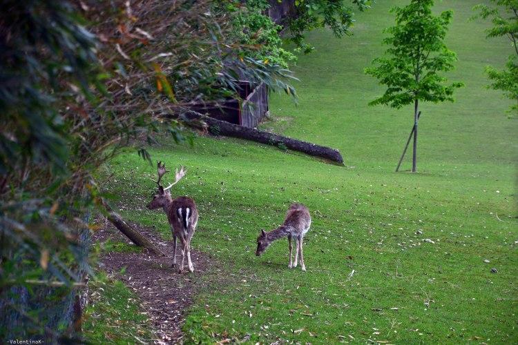 Parco Giardino Sigurtà: due daini che brucano nel loro grande recinto