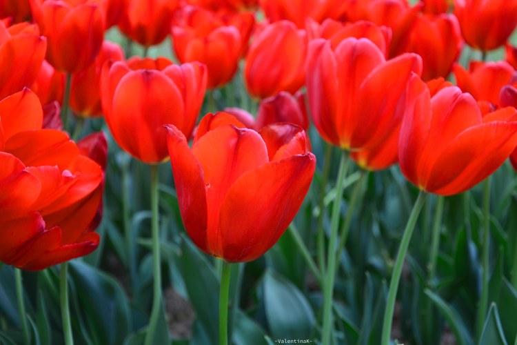 Parco Giardino Sigurtà: tulipani rossi molto belli