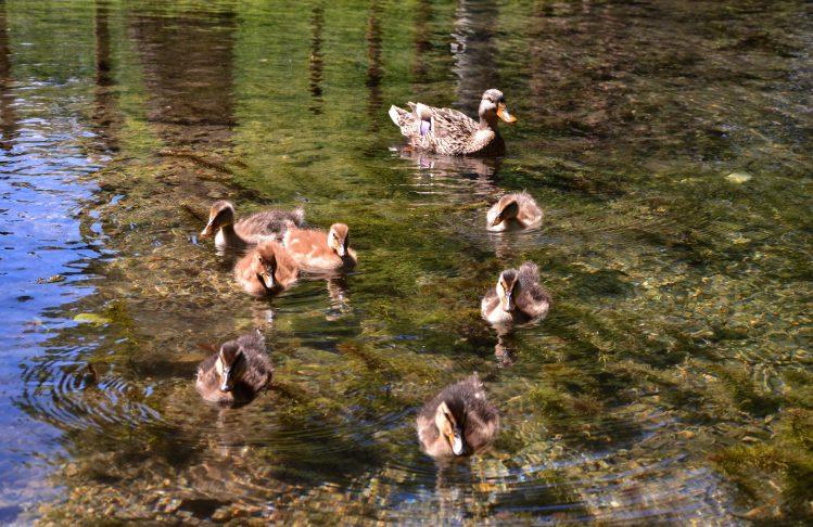 mamma papera con i suoi piccoli che nuota nel laghetto