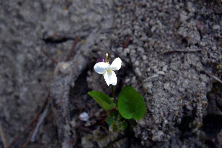 piccola viola bianca primaverile