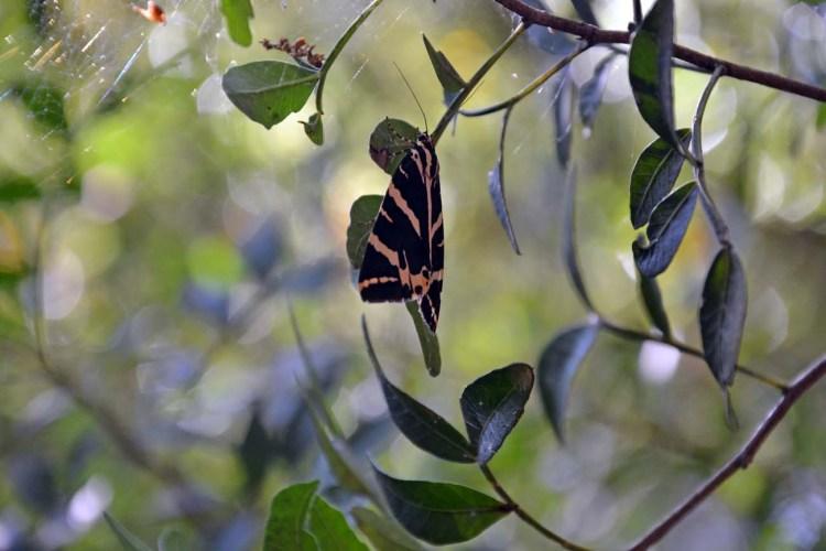 farfalla callimorpha quadripunctuaria su un albero a petaloudes