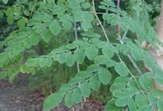 Moringa leaves I