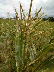 Maize (improved seeds variety) severly affected by fall army worms