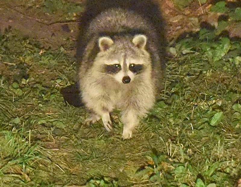 Toronto backyard raccoon