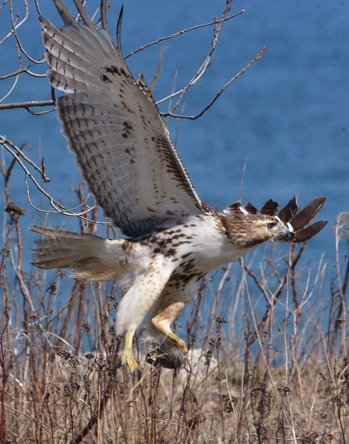 Hawk holding the prey mouse, Tommy Thompson Park, Toronto