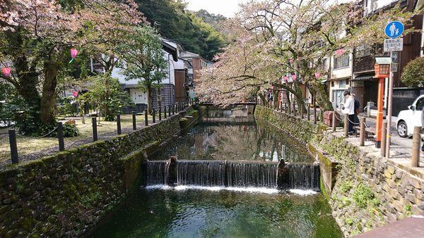 城崎温泉 桜ふぶきの季節の風景