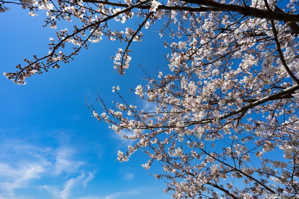 桜の開花ともにアジング準備