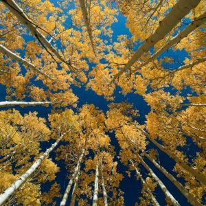 autumn (fall) colors in aspen forest in Bonanaza Flats, above Park City, UT