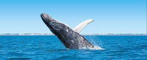 Whale watching tours Broome with Kimberley Wildlife Expedition Cruises