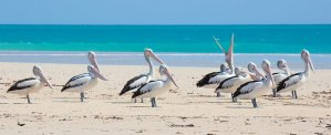 Pelicans rest on sandbank at Willie Creek north of Broome - Kimberley Wildlife Expedition Cruises