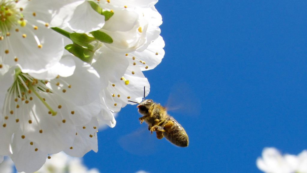 honey bee pollinating white flower with a blue sky background