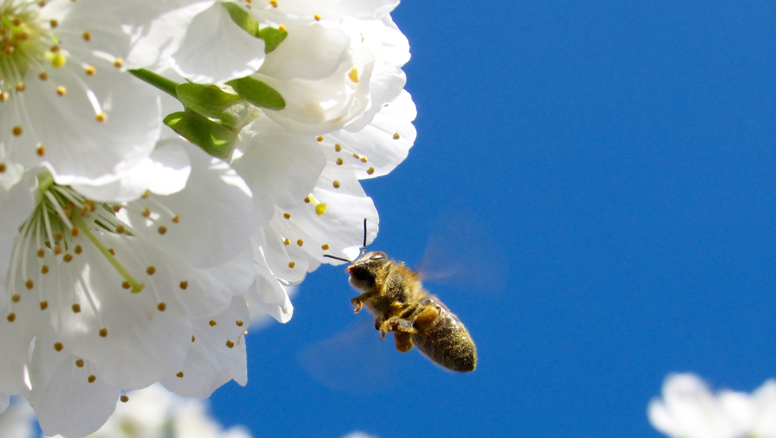 honey bee pollinating a flower with a blue sky background