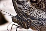 Owl butterfly eye