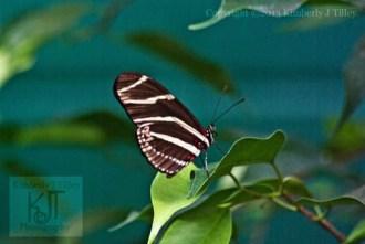 Zebra Butterfly on a leaf
