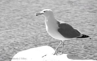 Herring Gull, black and white photograph