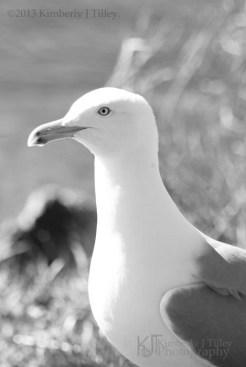 Herring Gull profile