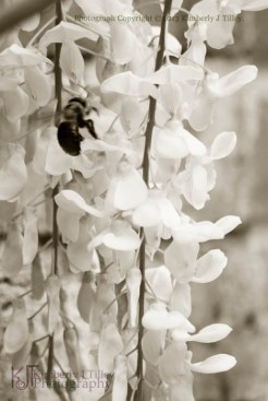 bumble bee and wisteria