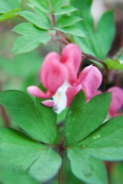 bleeding heart shrub