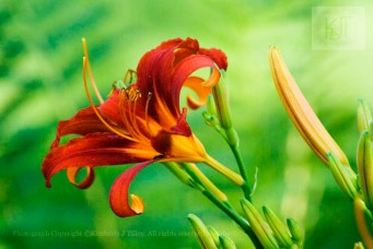 day lily, flower, orange,