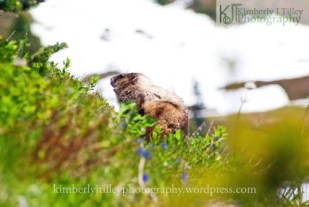 A hoary marmot on the side of a hill
