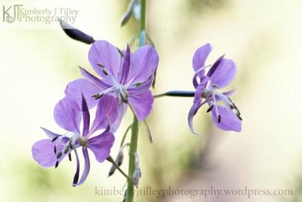 A wildflower stem with purple flowers.