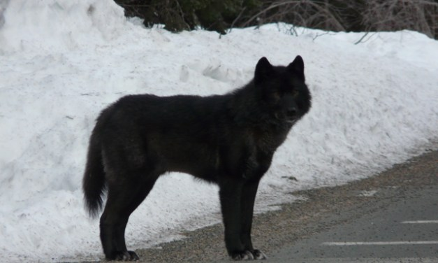 Alexander Archipelago Wolves Facing Serious Decline