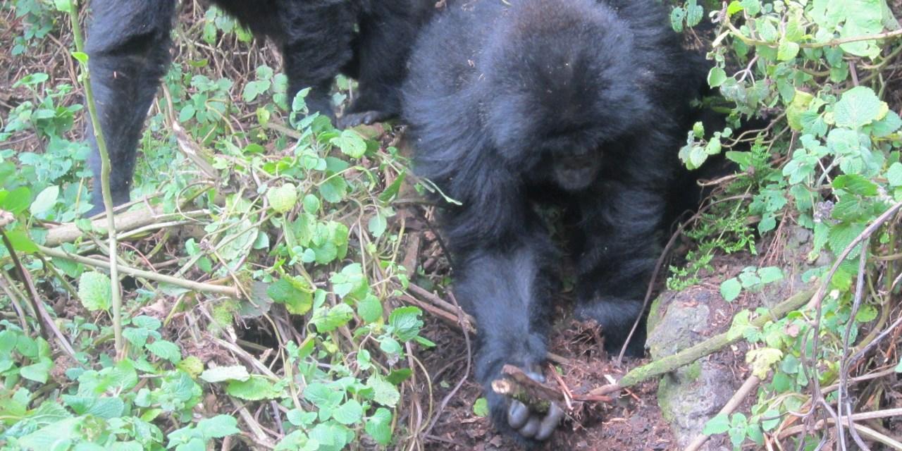 Exploring the Mind of the Mountain Gorilla