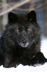 I didn't know there was no such thing as an alpha wolf when I wrote about this  Haliburton wolf.