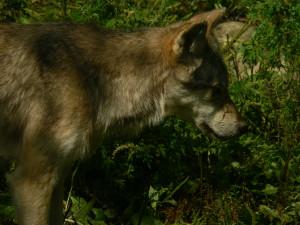 Haliburton Wolf (2009)