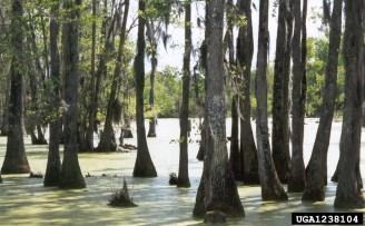 Bald Cyprus Swamp, NC   Randy Cyr, Greentree, Bugwood.org