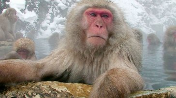 A real better everyday life for a snow monkey