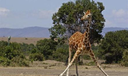 Marius the Giraffe: Highlights from Around the Web