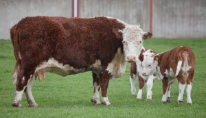 Hereford cow and calves, bred for beef (Flickr User MrATM CC BY-NC-ND 2.0)