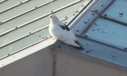Random Acts of Bird Watching: Pigeons