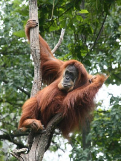 Sumatran Orangutan Photo by Greg Hume  CC 3.0