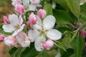 apple-blossom4