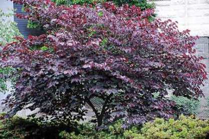 forest_pansy_redbud