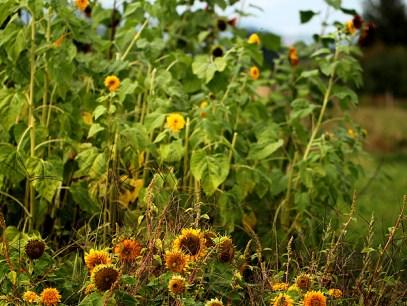 pumkin flowers