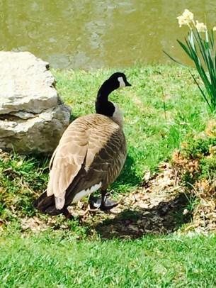 park duck
