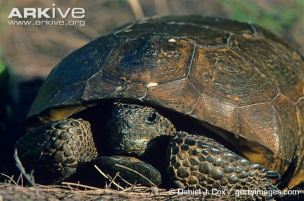Gopher-tortoise-head-partly-withdrawn-into-shell