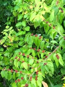 lakeberry