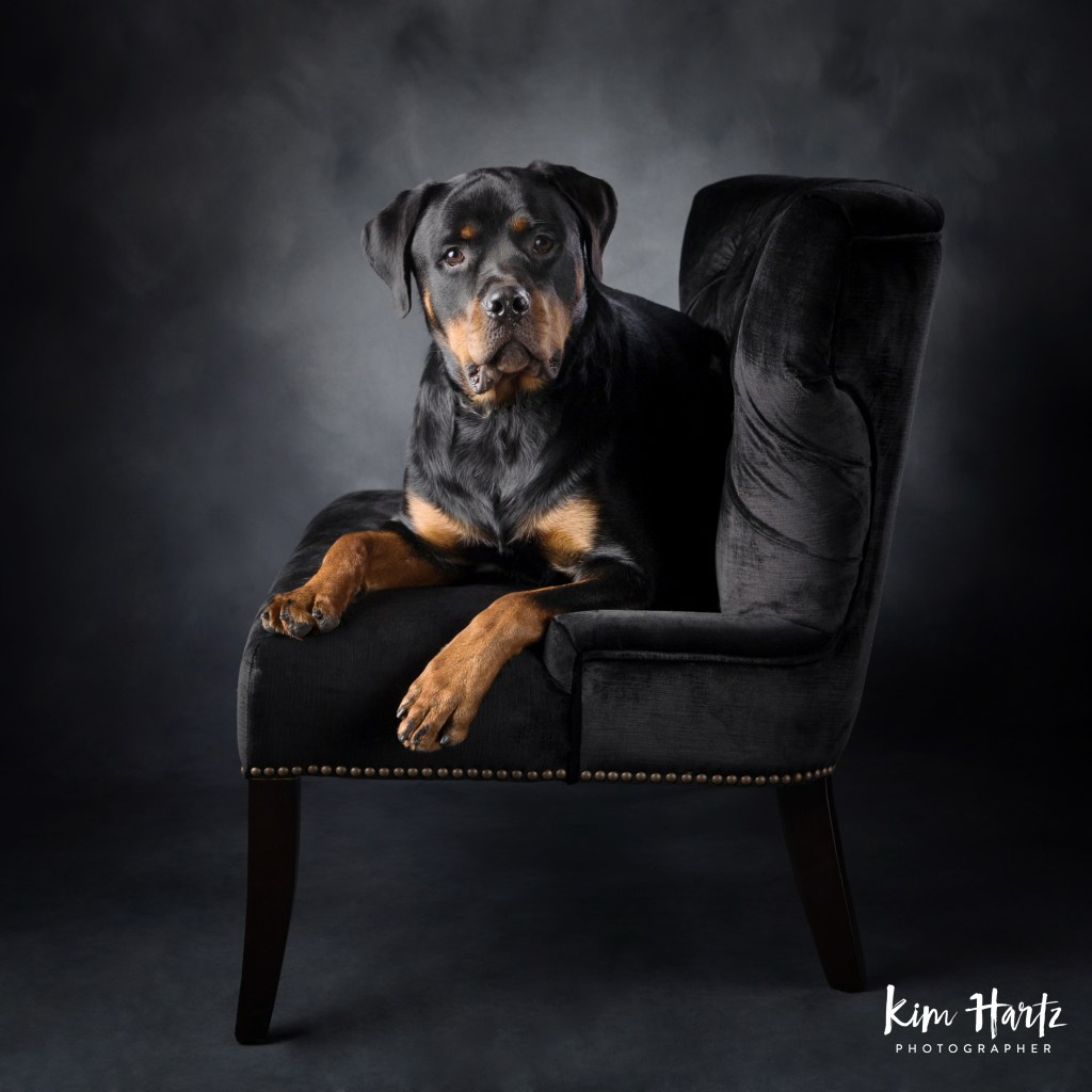 Rottweiler, dog photography, houston dog photorapher