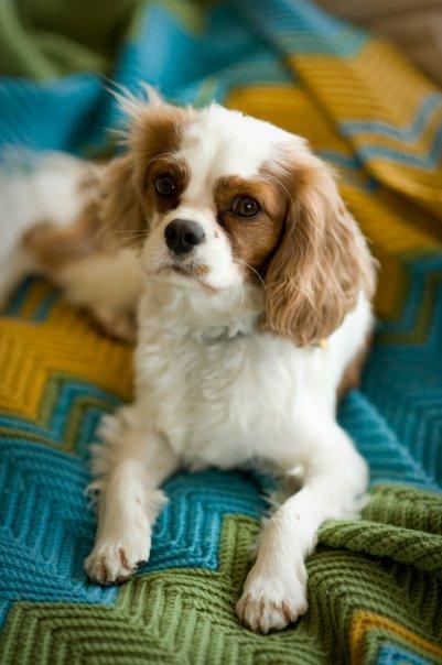 cavalier, kim hartz, dog portrait