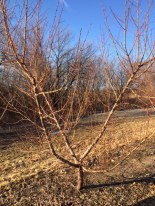 5 year old peach tree, yet to be pruned.