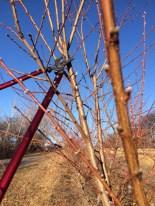Peach Tree Pruning